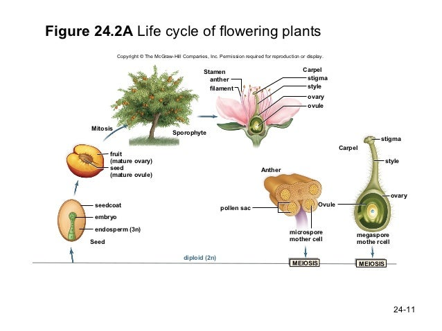 Pineapple Plant Life Cycle Diagram Electrical Work Wiring Diagram