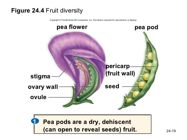 bio 100 chapter 24 legume pod diagram