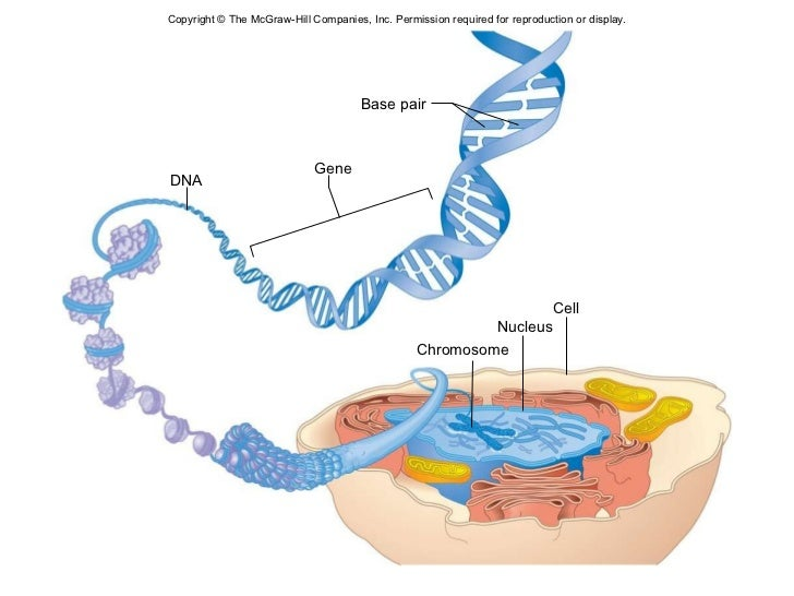 Chapter 24 genetics and genomics dna base pair cell gene nucleus chromosome ccuart Image collections