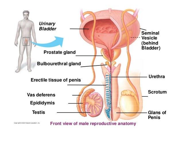 Anatomy Of Prostate And Bladder Gallery Human Body Anatomy