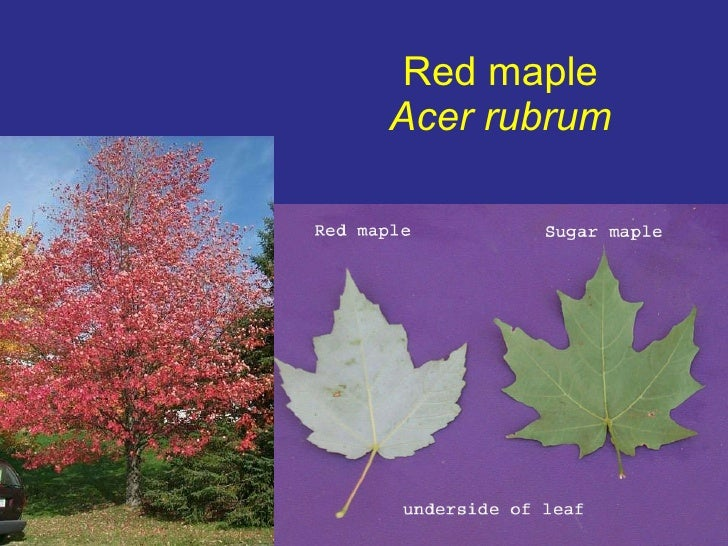 Chapter Identification - Norway maple vs sugar maple