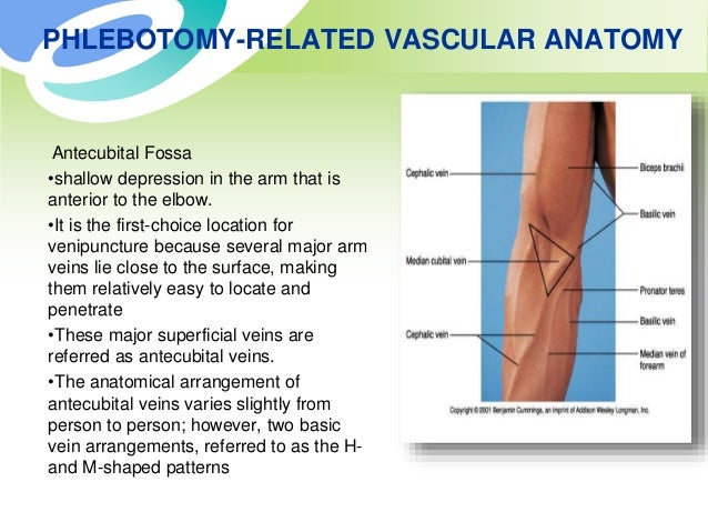 Phlebotomy Related Vascular Anatomy
