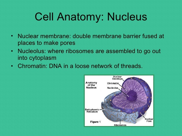 chapter 3 cells 1 chapter 3: the cell bio 105 cell theory 1 a cell is the smallest unit of life 2 cells make up all living things 3 new cells only arise from preexisting,.