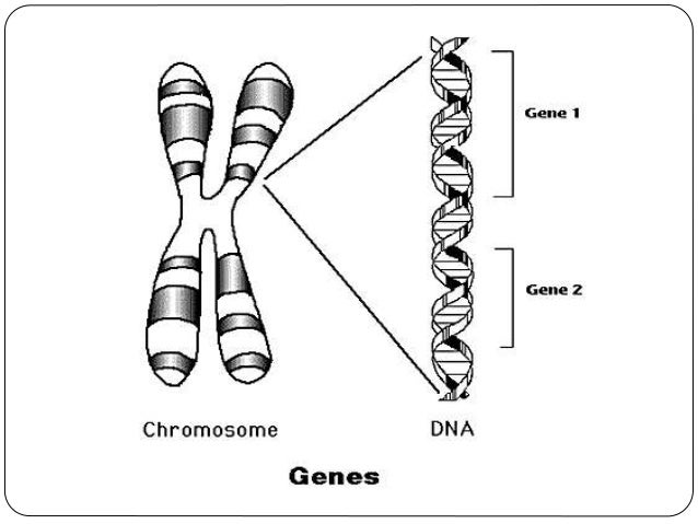 Chapter 3 heredity and variation