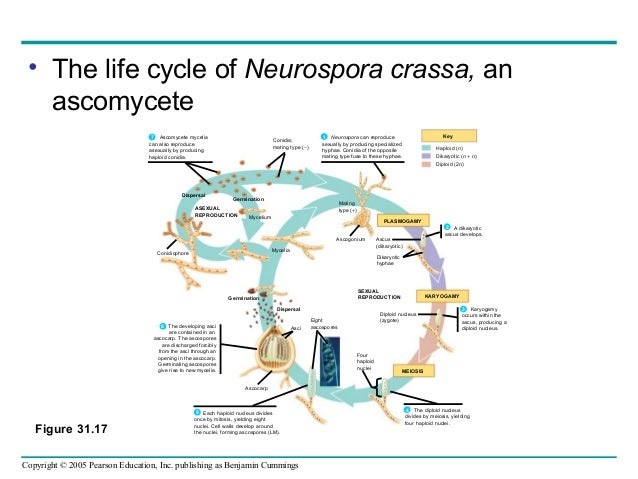 neurospora crassa essay Rna interference and gene silencing — it has also been observed in fungi, and has been particularly well characterized in neurospora crassa.