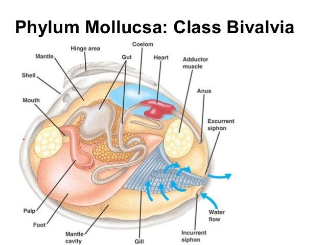 Class Bivalvia Diagram Electrical Work Wiring Diagram