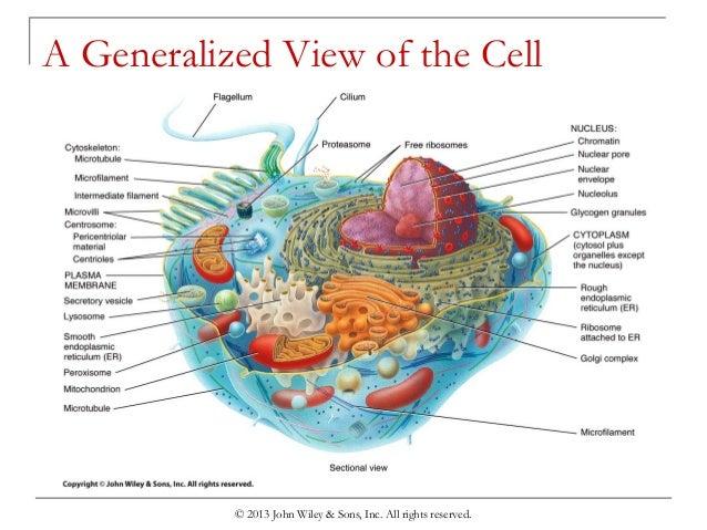 chapter 3 cells rh slideshare net generalized cell diagram anatomy of a generalized cell diagram