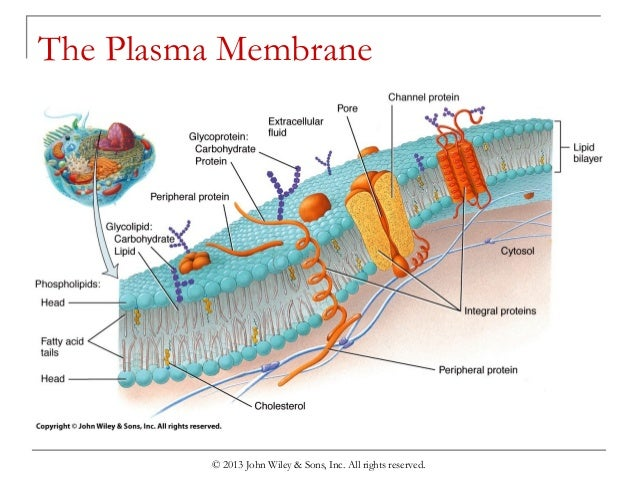 an overview of an experiment on the cell membrane permeability Diffusion and membrane permeability teaching kit equilibrium and selective permeability of cell membranes video on iodine experiment.