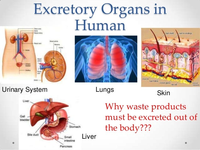 Excretory Organs in               HumanUrinary System       Lungs           Skin                         Why waste product...