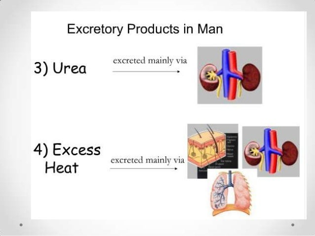Kidney Function• Detoxify blood• Increase calcium absorption  o calcitriol• Stimulate RBC production  o erythropoietin• Re...