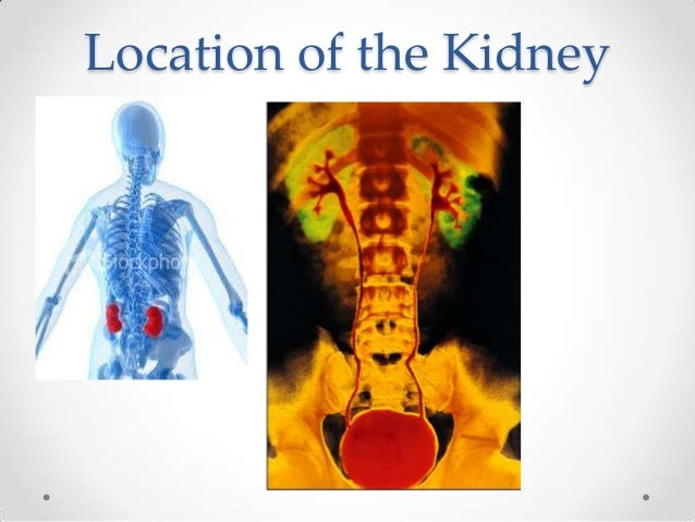 The Blood Supply to the        Kidney