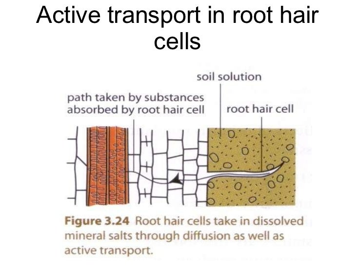 Chapter 3 movement of substances 2011 active transport in small intestine 35 active transport in root hair ccuart Choice Image