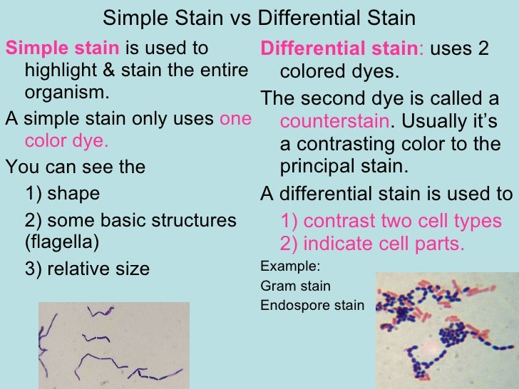 simple stain lab View notes - lab_06_smear_simple_stain from bio 205 at miramar college miramar college biology 205 microbiology lab exercise 6: the smear and simple staining background smears the preparation of a.