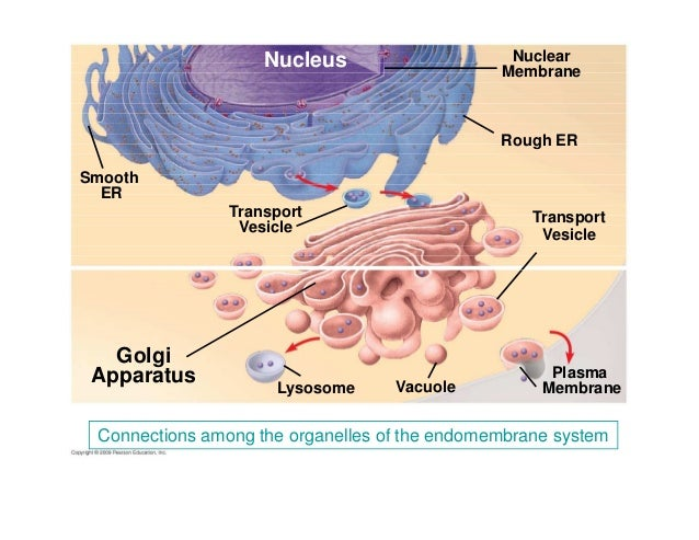 chapter 4 cell & tissues 1 compatibility mode  : endomembrane system diagram - findchart.co