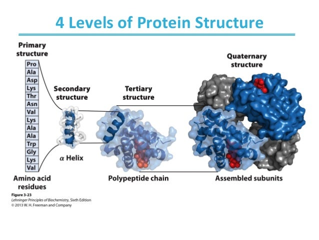 protein structure and function A single protein molecule may contain one or more of these protein structure types the structure of a protein determines its function for example, collagen has a super-coiled helical shape it is long, stringy, strong, and resembles a rope, which is great for providing support.