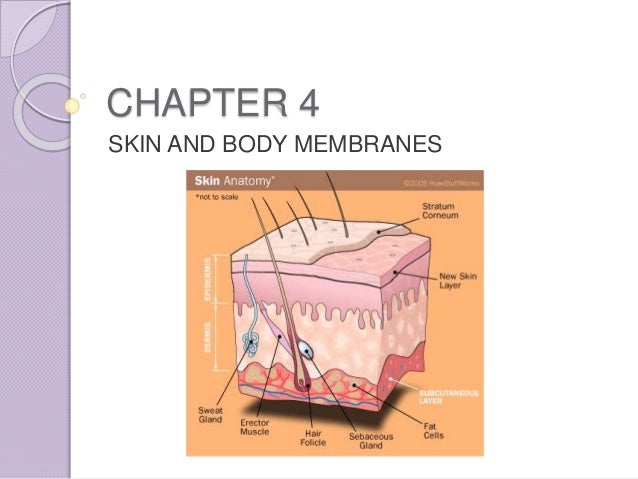 Chapter 4 - Skin and Body Membranes