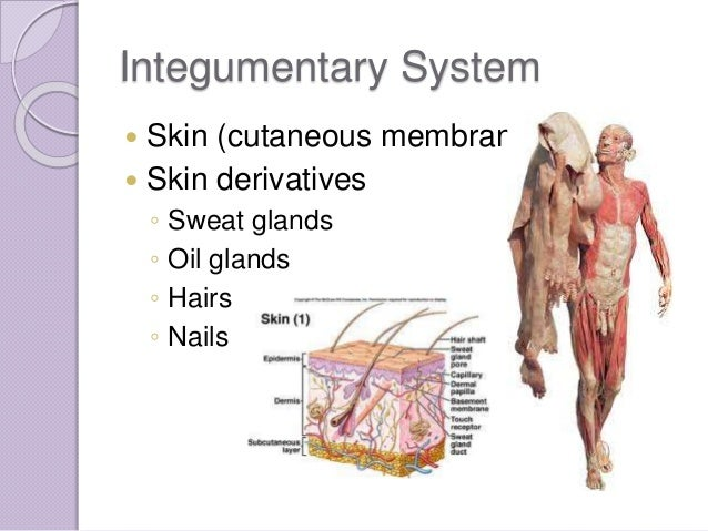 Chapter 4 Skin And Body Membranes