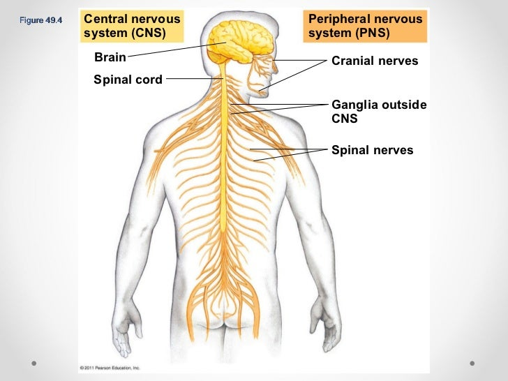 Chapter 49 the nervous system ppt