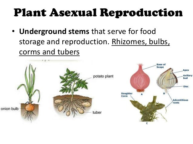 Three types of asexual reproduction in plants
