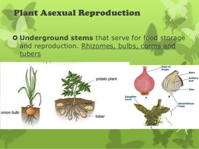How are rhizomes and tubers involved in asexual reproduction