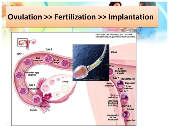 ovulation fertilization and implantation