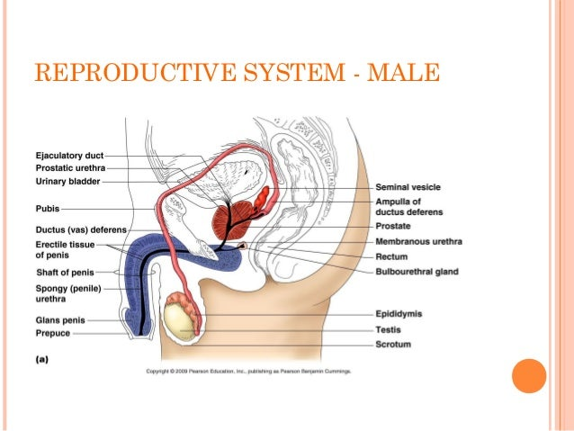 Form 3 Science Chapter 4 Reproductive System And Fertilisation