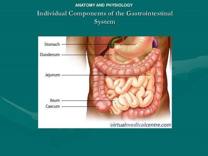 Gastrointestinal system anatomy
