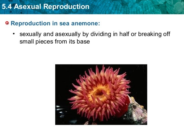 Sea anemone asexual reproduction in bacteria