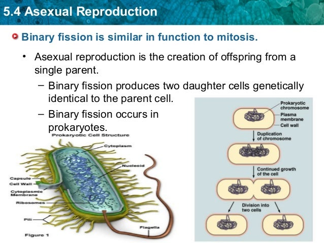 what is the relationship between binary fission and mitosis