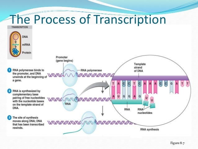describe the process by which genes Classical genetics dna and proteins are key molecules of the cell nucleus one gene makes one protein a gene is made of dna bacteria and viruses have dna too.