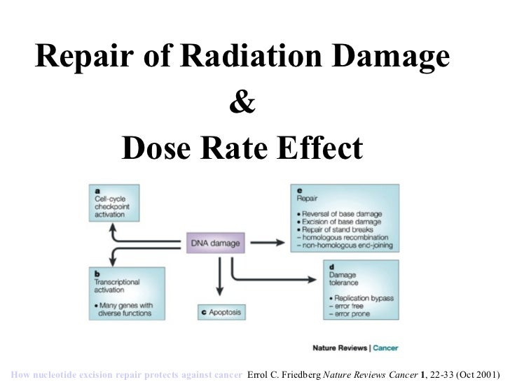 Repair of Radiation Damage & Dose Rate Effect How nucleotide excision repair protects against cancer   Errol C. Friedberg ...