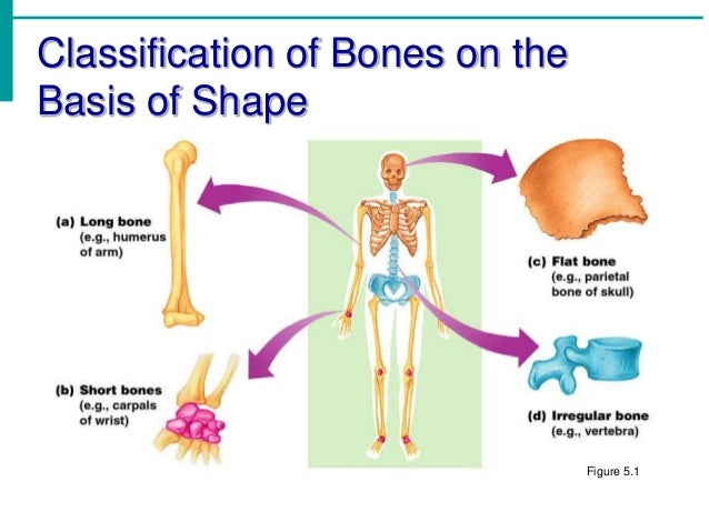 Chapter 5 - The Skeletal System