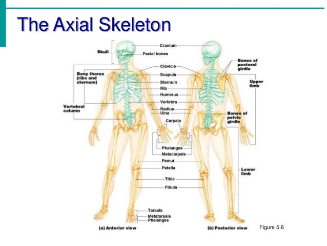 Chapter 5 Skeletal System Diagrams - Wiring Diagram For Light Switch •