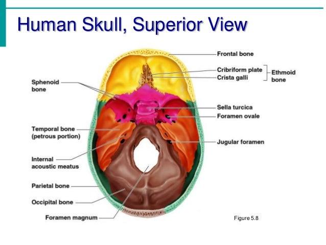 Chapter 5 - The Skeletal System