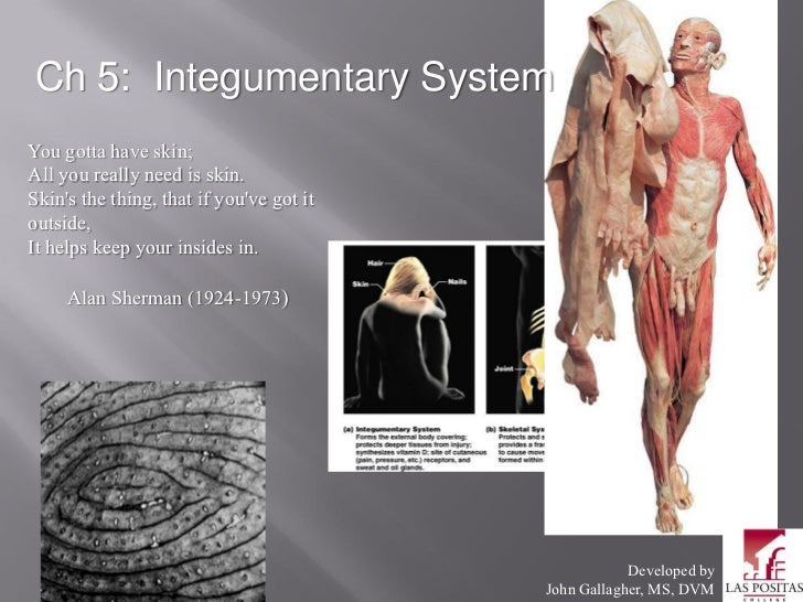 Ch 5: Integumentary SystemYou gotta have skin;All you really need is skin.Skins the thing, that if youve got itoutside,It ...