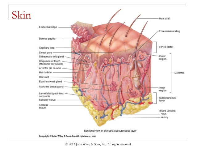 chapter-5-the-integumentary-system-7-638.jpg?cb=1439401221