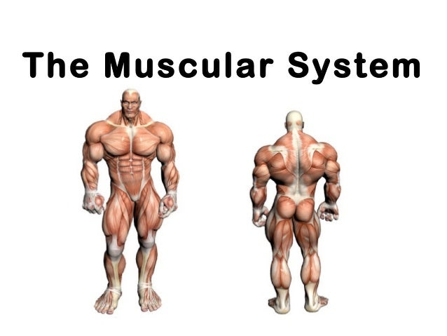 Chapter 6 The Muscular System Anatomy And Physiology Coloring ...