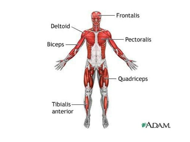 chapter 6 the muscular system rh slideshare net Muscle Chart Study Guide Muscle Chart Study Guide