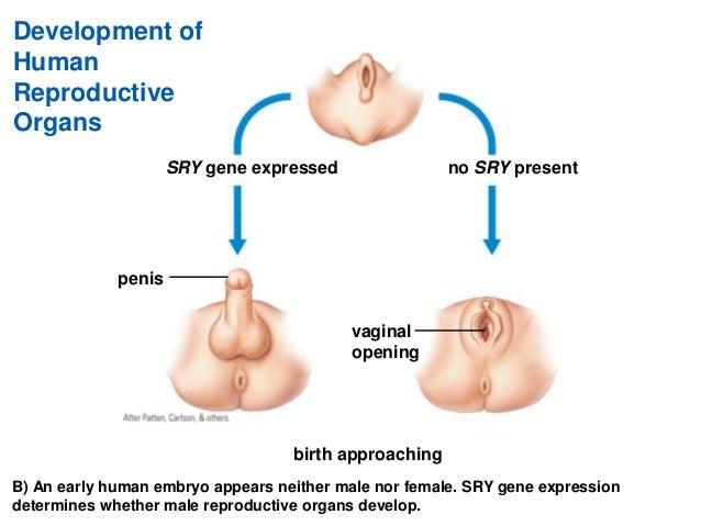 penis genes