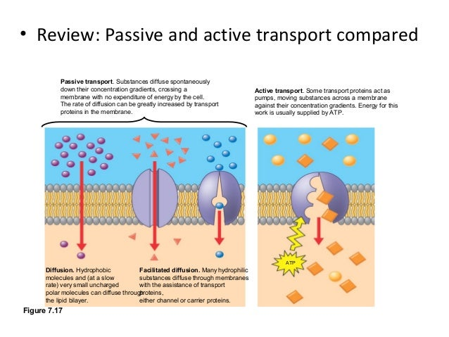 cell membrane structure and active vs Membrane structure and function 1 which part of the cell membrane is shown in more detail in model 3 why does active transport.