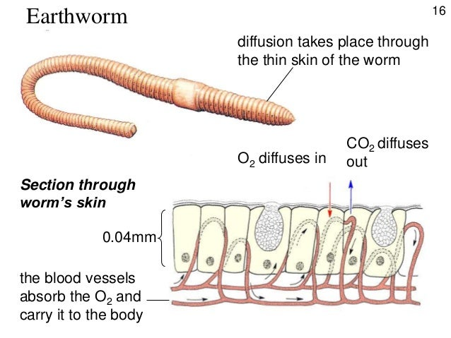 earthworm organ systems Earthworms are hermaphrodites, each one has a male and female reproductive organs after two earthworms mate, both will be laying eggs.