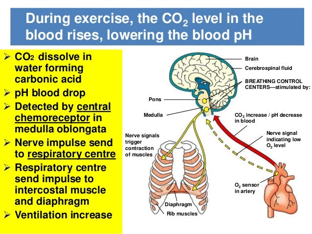 how does muscle contraction affect depth of respiration Factors that affect the rate and depth of respiration  that requires muscle contraction for both inspiration and expiration  of breathing that occurs at rest .