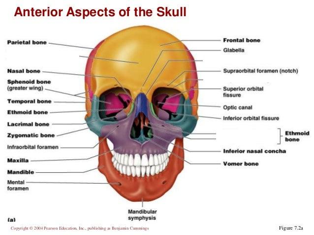 skeleton skull diagram wiring diagrams control Skeleton Skull Diagram without Labels chapter 7a axial skeleton human skeleton diagram skeleton skull diagram
