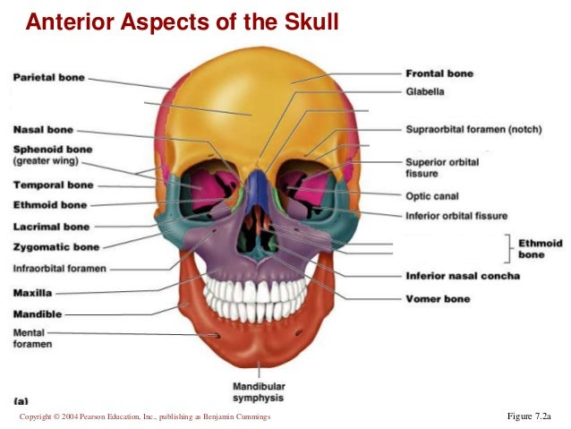 Chapter 7a Axial Skeleton