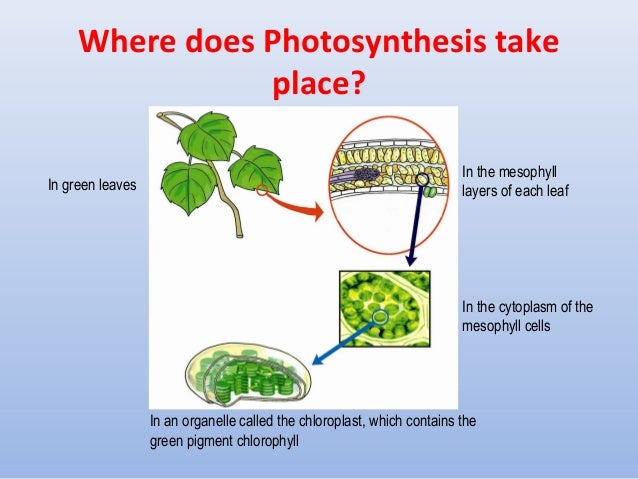 Chapter 7 plant nutrition ltd 6 7 where does photosynthesis take place ccuart Choice Image