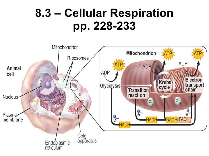 8.3 – Cellular Respiration pp. 228-233