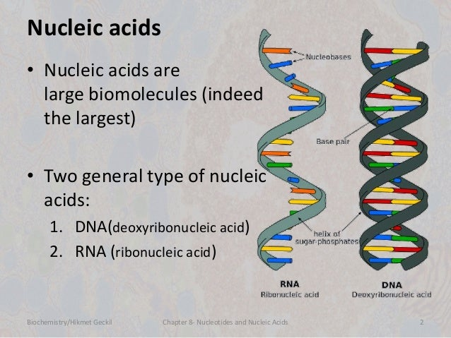 Chapter 8: nucleic acids