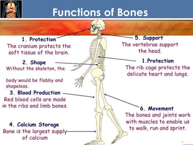 chapter 8 fundamentals of anatomy and physiology, Skeleton