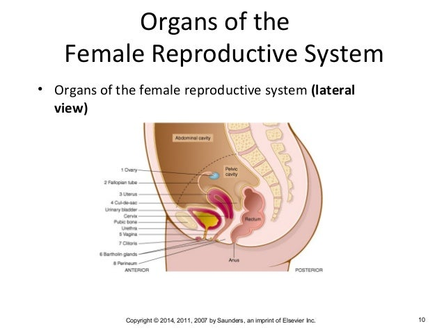 Human Reproductive System Diagram Medical Electrical Work Wiring