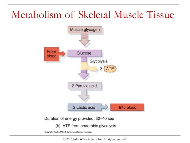 the muscular system muscle metabolism worksheet